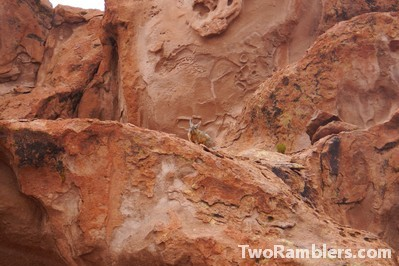 Viscacha on a rock