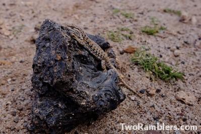 A lizard on a stone