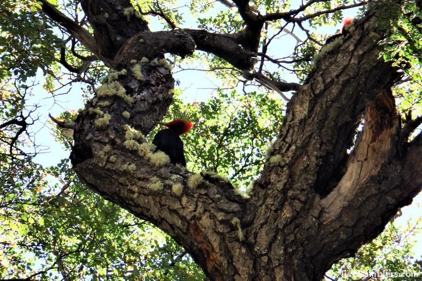 Magellanic woodpecker, El Chalten