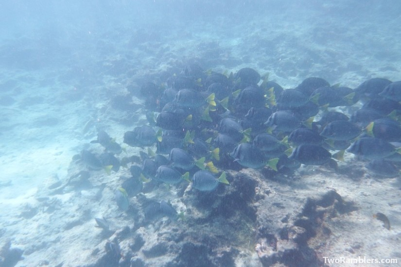 Razor surgeonfish, Galapagos Islands, Ecuador