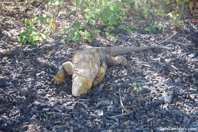 Iguana - Galapagos Islands
