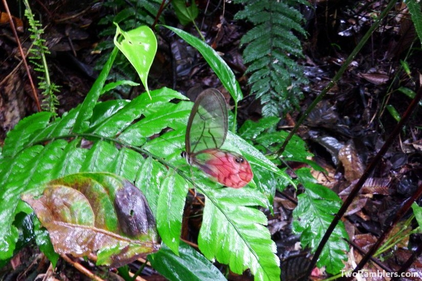 Butterfly, Podocarpus National Park, Ecuador