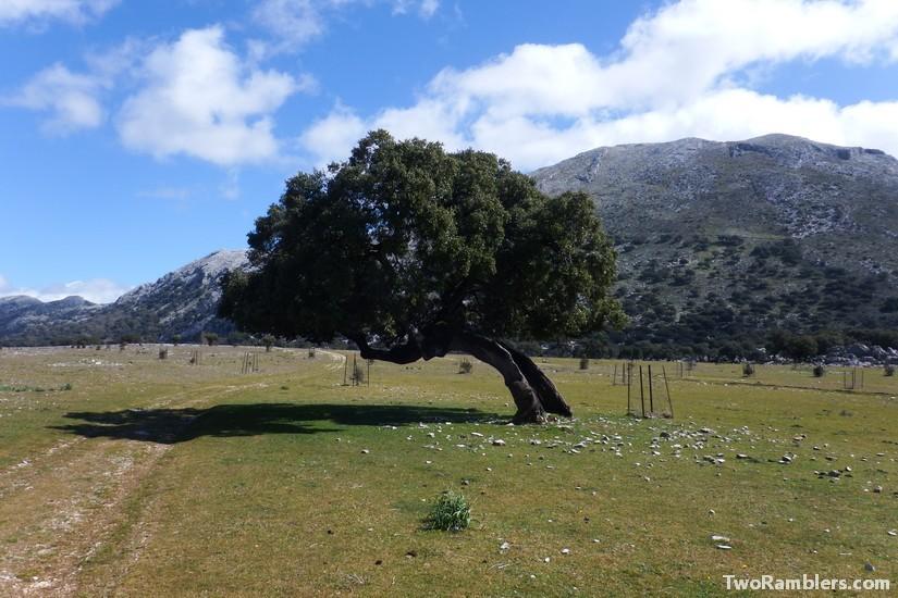 Old, bended oak